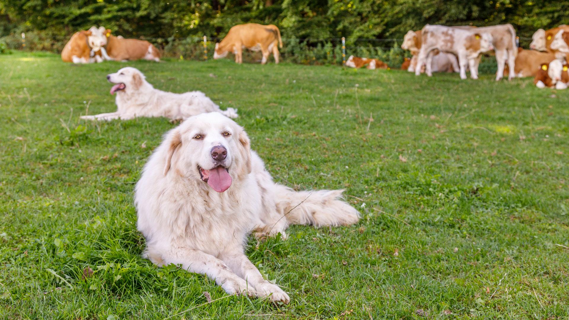 Hunde auf der Weide